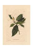 Gardenia Angustifolia, White Gardenia Giclee Print