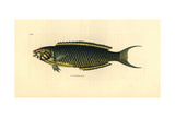 Moon Wrasse, Thalassoma Lunare Giclee Print by Richard Polydore Nodder