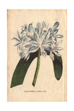 Blue Lily or Agapanthus Umbellatus Africanus Giclee Print by Henrietta Moriarty