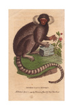 Lesser Cagui Monkey (Sagui or Marmoset) Callithrix Jacchus Giclee Print