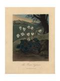 Persian Cyclamen Giclee Print