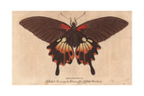 Great Peacock Moth (Saturnia Pyri), a Native of Africa Giclee Print