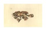 Sargassumfish, Histrio Histrio Giclee Print by Richard Polydore Nodder