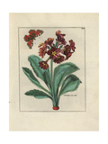 Auricula with Butterfly Giclee Print