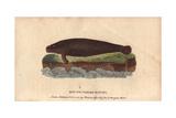 Round-Tailed Manati or ManateeTrichechus Manati Giclee Print
