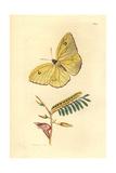 Cloudless Sulphur Butterfly, Phoebis Sennae Eubule Giclee Print by Richard Polydore Nodder