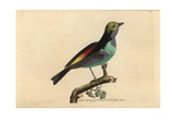 Paradise Tanager (Tanagra) Impression giclée