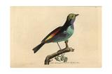 Paradise Tanager (Tanagra) Giclee Print