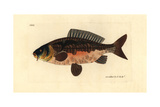 Common Carp, Cyprinus Carpio Var Vulnerable Giclee Print by Richard Polydore Nodder