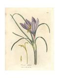 Saffron Crocus, Crocus Sativus Giclee Print