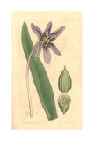 Meadow Saffron, Colchicum Autumnale Giclee Print by James Sowerby