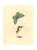 Large Emerald Moth, Geometra Papilionaria Giclee Print by Richard Polydore Nodder