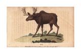 Elk or Wapiti Cervus Canadensis Giclee Print