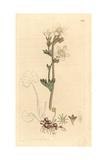 Meadow or White Saxifrage, Saxifraga Granulata Giclee Print by James Sowerby