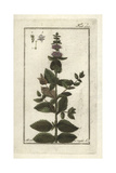 Wild Mint Giclee Print