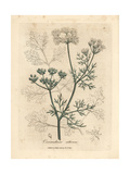 White Flowered Coriander, Coriandrum Sativum Giclée-tryk af James Sowerby
