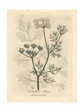 White Flowered Coriander, Coriandrum Sativum Giclee Print by James Sowerby
