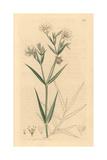Greater Stitchwort, Stellaria Holostea Giclee Print by James Sowerby