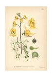 Common Bladderwort, Utricularia Vulgaris Giclee Print