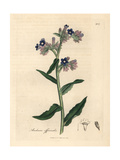 Bugloss Giclee Print by James Sowerby