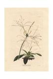 Pancratium OvatumWhite Pancratium Amaryllis Giclee Print