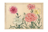 Carnations, Dianthus Caryophyllus Giclee Print