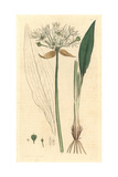 Broad-Leaved Garlic, Allium Ursinum Giclee Print by James Sowerby