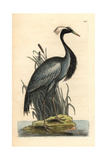 Demoiselle Crane, Anthropoides Virgo Giclee Print by Richard Polydore Nodder