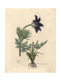 Blue Flowered Meadow Anemone or Pasque Flower, Anemone Pratensis Giclee Print by James Sowerby