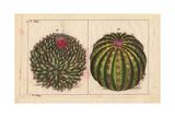 Cactus Mammillaris, Cactus Melocactus Giclee Print