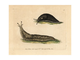 Black Slug, Great Slug, Arion Ater, Limax Maximus Giclee Print