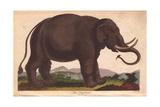 Elephant (Elephas Maximus) Giclee Print