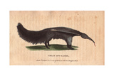 Great Ant Eater or Ant BearMyrmecophaga Tridactyla Giclee Print
