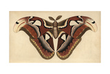 Atlas Moth, Large Moth with Brown, Chocolate, Coffee Patterned WingsAttacus Atlas (Phalaena Atlas) Giclee Print