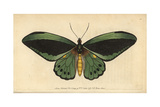 Common Green Birdwing Butterfly Giclee Print
