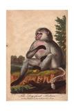 Dog-Faced BaboonPapio Hamadryas, Papio Doguera, Cynocephalus Giclee Print