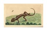 Lined Gecko, Gekko Vittatus Giclee Print