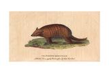 Six-Banded or Yellow ArmadilloEuphractus Sexcinctus Giclee Print