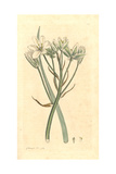 Star of Bethlehem, Ornithogalum Umbellatum Giclee Print by James Sowerby