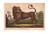 Lion (Panthera Leo) Giclee Print