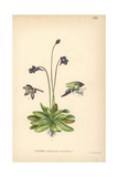 Common Butterwort, Pinguicula Vulgaris Giclee Print