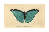Menelaus or Silver-Blue ButterflyPapilio Menelaus Giclee Print