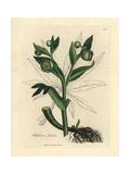 Green Flowered Fetid Hellebore or Bear's Foot, Helleborus Foetidus Giclée-Druck von James Sowerby