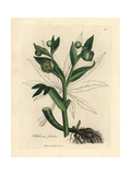 Green Flowered Fetid Hellebore or Bear's Foot, Helleborus Foetidus Giclee Print by James Sowerby