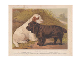 Field Spaniels- Clumber Spaniel Lapis and Sussex Spaniel Romp Giclee Print