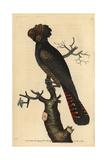 Magnificent Cockatoo, Psittacus Magnificus Giclee Print