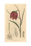 Common Fritillary, Fritillaria Meleagris Giclee Print by James Sowerby