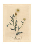 White and Yellow Flowered Camomile, Anthemis Nobilis Giclee Print by James Sowerby