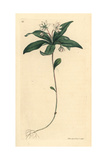 Chickweed Winter Green, Trientalis Europaea Giclee Print by James Sowerby