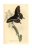 Spicebush Swallowtail, Papilio Troilus Giclee Print by Richard Polydore Nodder